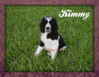 Kimmy: Female Standard Poodle (Full Price $1600.00) Deposit