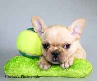 Kimberly AKC Female French Bulldog $2200