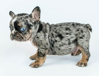 French Bulldog puppies Puppies for Sale