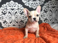 French Bulldogs puppies in Ohio