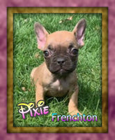 Frenchton Puppy in Ohio