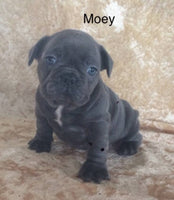 Moey Male Blue AKC French Bulldog $2999