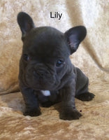 Lily Female AKC French Bulldog $2995