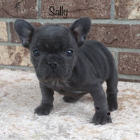 Sally Female AKC French Bulldog $2799