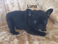 Luna Female AKC French Bulldog $2995