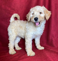 Ginger Female F1b Mini Goldendoodle $850