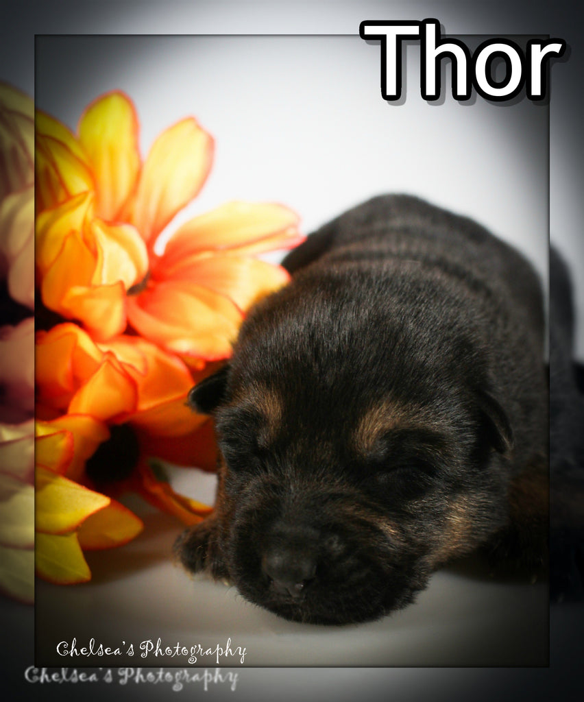 Thor Male AKC German Shepherd $2500