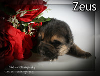 Zeus Male AKC German Shepherd $2500