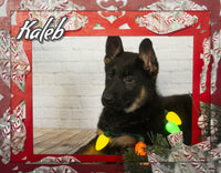 Kaleb Male German Shepherd $1200