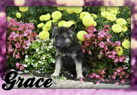 Grace: Female ICA German Shepherd (Full Price $600.00) Deposit