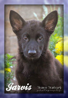 Jarvis: Male ICA German Shepherd (Full Price $650.00) Deposit