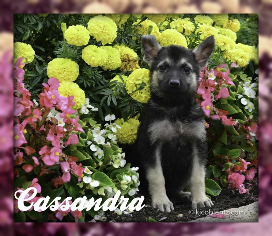 German Shepherd Breeder In Pittsburgh