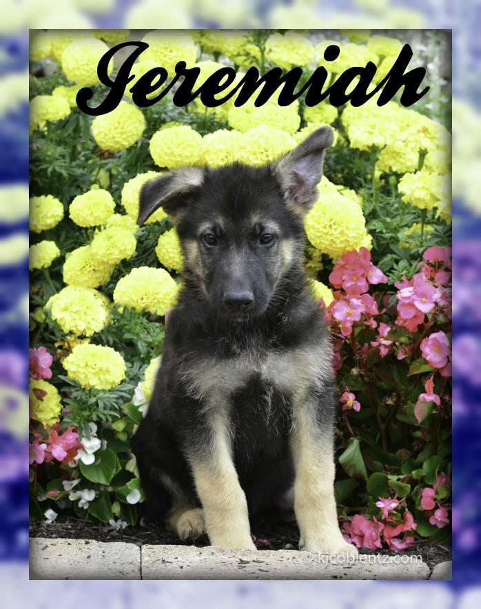 German Shepherd Puppy for Sale In Pittsburgh