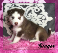 Ginger: Female Siberian Husky (Full Price $599) Deposit