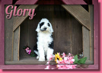 Sheepadoodle Puppies In Ohio