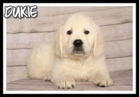 Dukie Male AKC Golden Retriever $2600