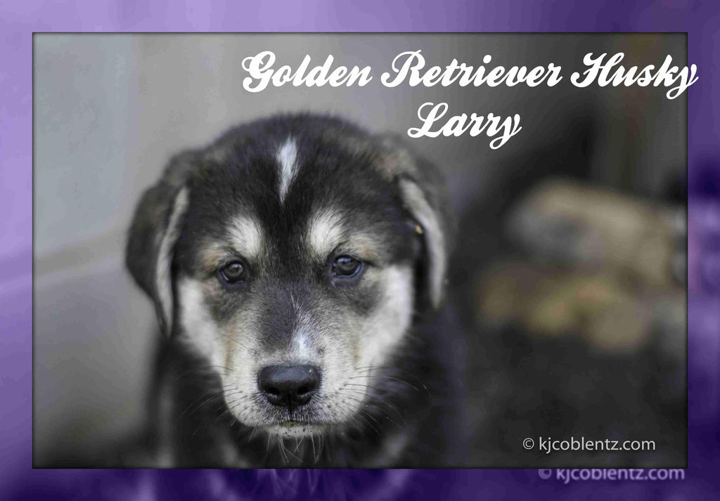 Larry: Male Golden Retriever Husky Mix (Full Price $600.00) Deposit