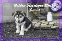 David: Male Golden Retriever Husky Mix (Full Price $290.00) Deposit