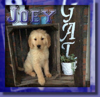 Joey Male AKC Golden Retriever $400
