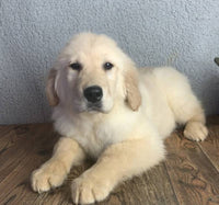 Tucker: Male Golden Retriever $500