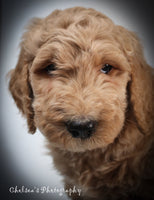 Sparrow Male F1B Goldendoodle $2050