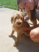 Goldendoodle puppy in Pittsburgh