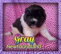 Gray: Female AKC Newfoundland (Full Price 1200.00pet/ 1500.00 breeding)  Deposit