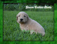 Green Collar Male: Male F1B Goldendoodle (Full Price $1800.00) Deposit