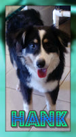 Hank: Male Aussie Mini (Full Price $650.00) Deposit