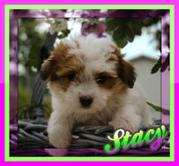 Stacy: Female Havanese  (Full Price $650.00) Deposit
