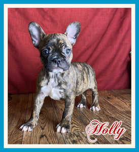 Holly Female Frenchton $1400