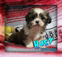 Huey: Male Shihtzu (Full Price $599.00) Deposit