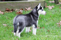Ohio Husky puppies for sale