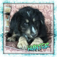 Hunter Male Huskipoo (Full Price $550) Deposit