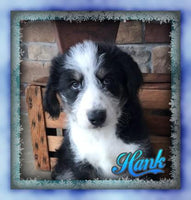 Hank Male Huskipoo (Full Price $599) Deposit