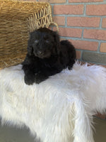 Krew Male Poodle Mix $700