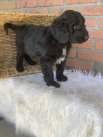 Jaxx Male Poodle Mix $700