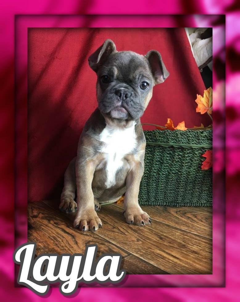 Layla Female AKC French Bulldog $3500