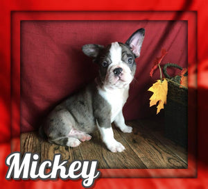 Mickey Male Frenchton $2000
