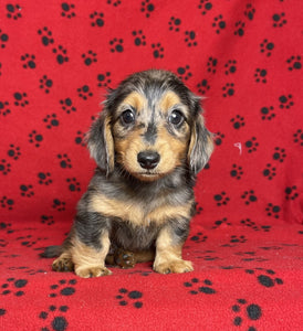 Leonardo Male Mini Dachshund $2800