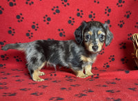 Tarzan Male Mini Dachshund $2800