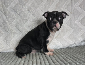 Herbie Male AKC Boston Terrier $1400
