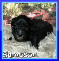 Sampson Male Mini Sheepadoodle $1800