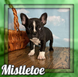 Mistletoe Male Frenchton $1250