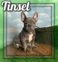 Tinsel Male Frenchton $1500