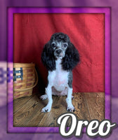 Oreo Female Cockapoo $400