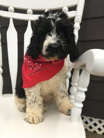 Duke Male Newfypoo $950.00
