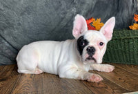 Patch Male French Bulldog $1600