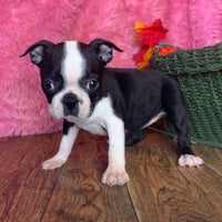Teena Female Boston Terrier $650