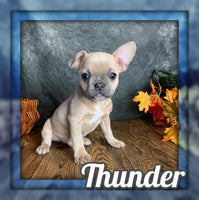 Thunder Male Frenchton  $800